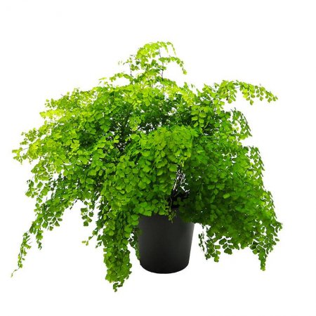 Planta Helecho